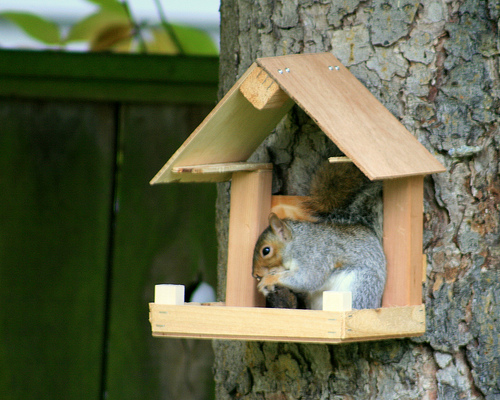 how to catch a red squirrel in your house