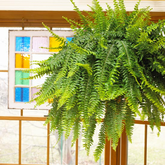 Boston Fern Indoor Gardening Ideas   7 Houseplants that Add Oxygen to your Room