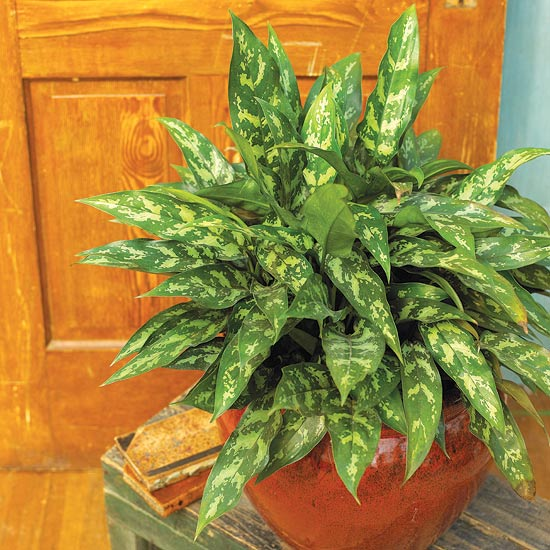 Chinese Evergreen Indoor Gardening Ideas   7 Houseplants that Add Oxygen to your Room