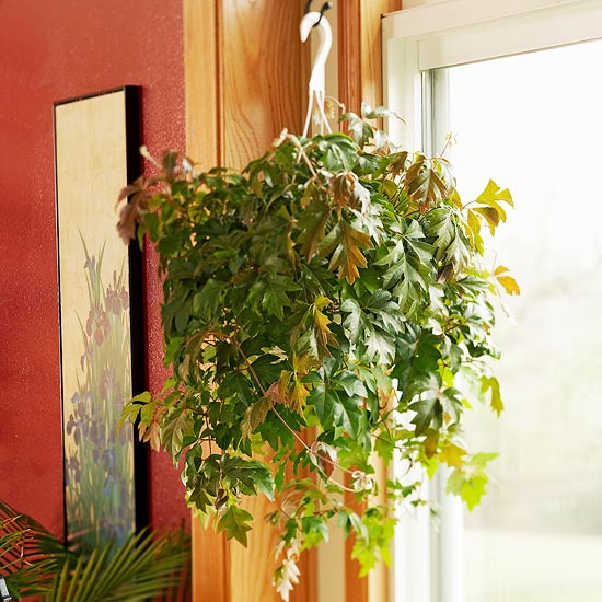Grape Ivy Indoor Gardening Ideas   7 Houseplants that Add Oxygen to your Room