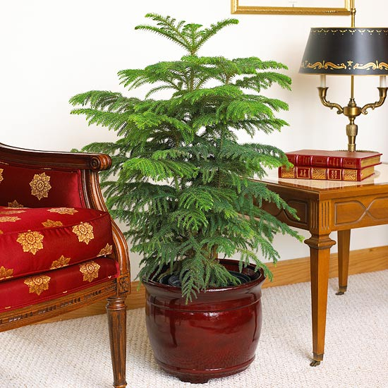 Norfolk Island Pine Indoor Gardening Ideas   7 Houseplants that Add Oxygen to your Room
