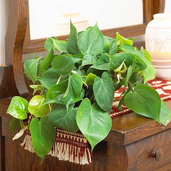 Philodendron Indoor Gardening Ideas   7 Houseplants that Add Oxygen to your Room