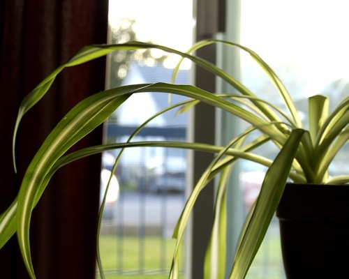 Spider Plant Indoor Gardening Ideas   7 Houseplants that Add Oxygen to your Room