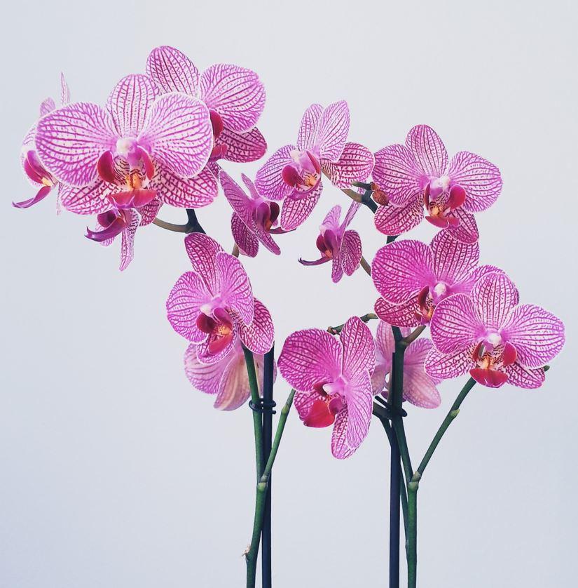 Orchid-Thefabweb.com